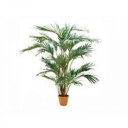 EUROPALMS Canary date palm,...